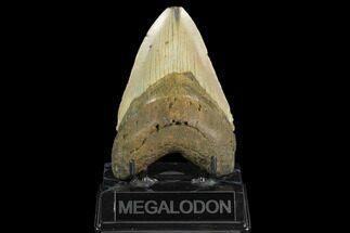 "4.76"" Fossil Megalodon Tooth - North Carolina For Sale, #124673"