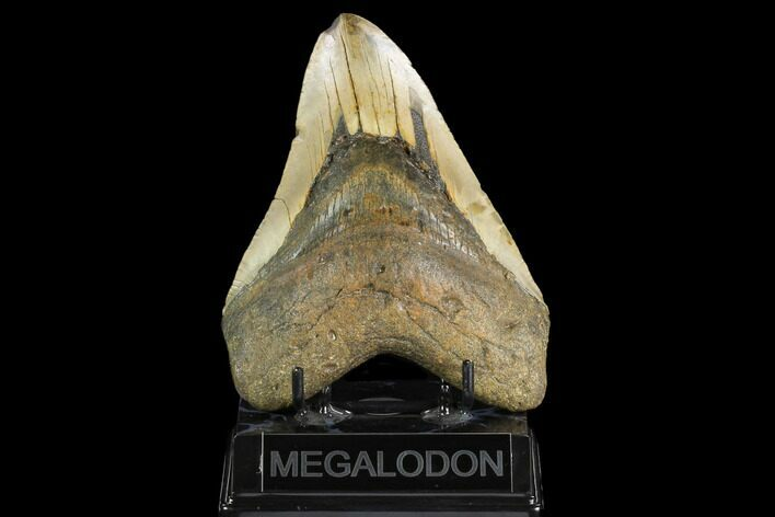 "Huge, 5.58"" Fossil Megalodon Tooth - North Carolina"