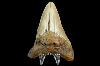 Carcharocles megalodon - Fossils For Sale - #124947