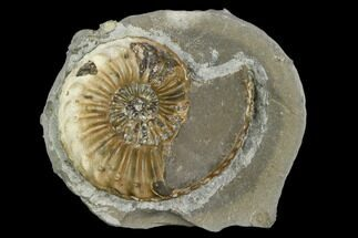"1.35"" Ammonite (Pleuroceras) Fossil in Rock - Germany For Sale, #125426"