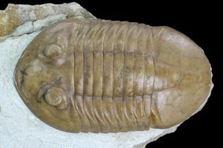 Asaphus plautini  - Fossils For Sale - #125670