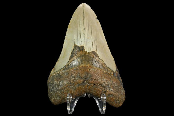 "4.29"" Fossil Megalodon Tooth - North Carolina"