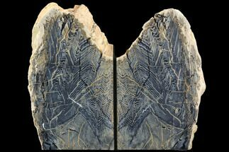 Sequoia - Fossils For Sale - #125997