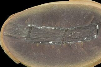 "2.8"" Fossil Horsetail (Calamites) In Ironstone, Pos/Neg - Illinois For Sale, #120995"