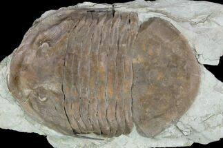 "Buy Huge, 7.6"" Isotelus Trilobite - Oldenburg, Indiana - #126214"
