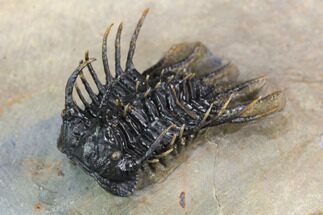 "1.3"" Rare Species Of Koneprusia Trilobite - Atchana, Morocco For Sale, #126215"