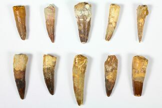 "Wholesale Lot: 1.8 to 2.5"" Bargain Spinosaurus Teeth - 10 Pieces For Sale, #126275"