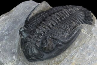 "Buy 1.7"" Detailed Hollardops Trilobite - Ofaten, Morocco - #126295"