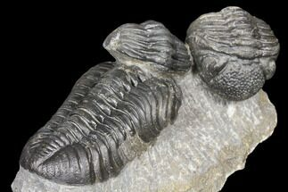 Two Pedinopariops Trilobite Fossils - Mrakib, Morocco For Sale, #126326