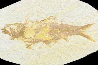 "Buy 3.3"" Fossil Fish (Knightia) - Green River Formation - #126466"
