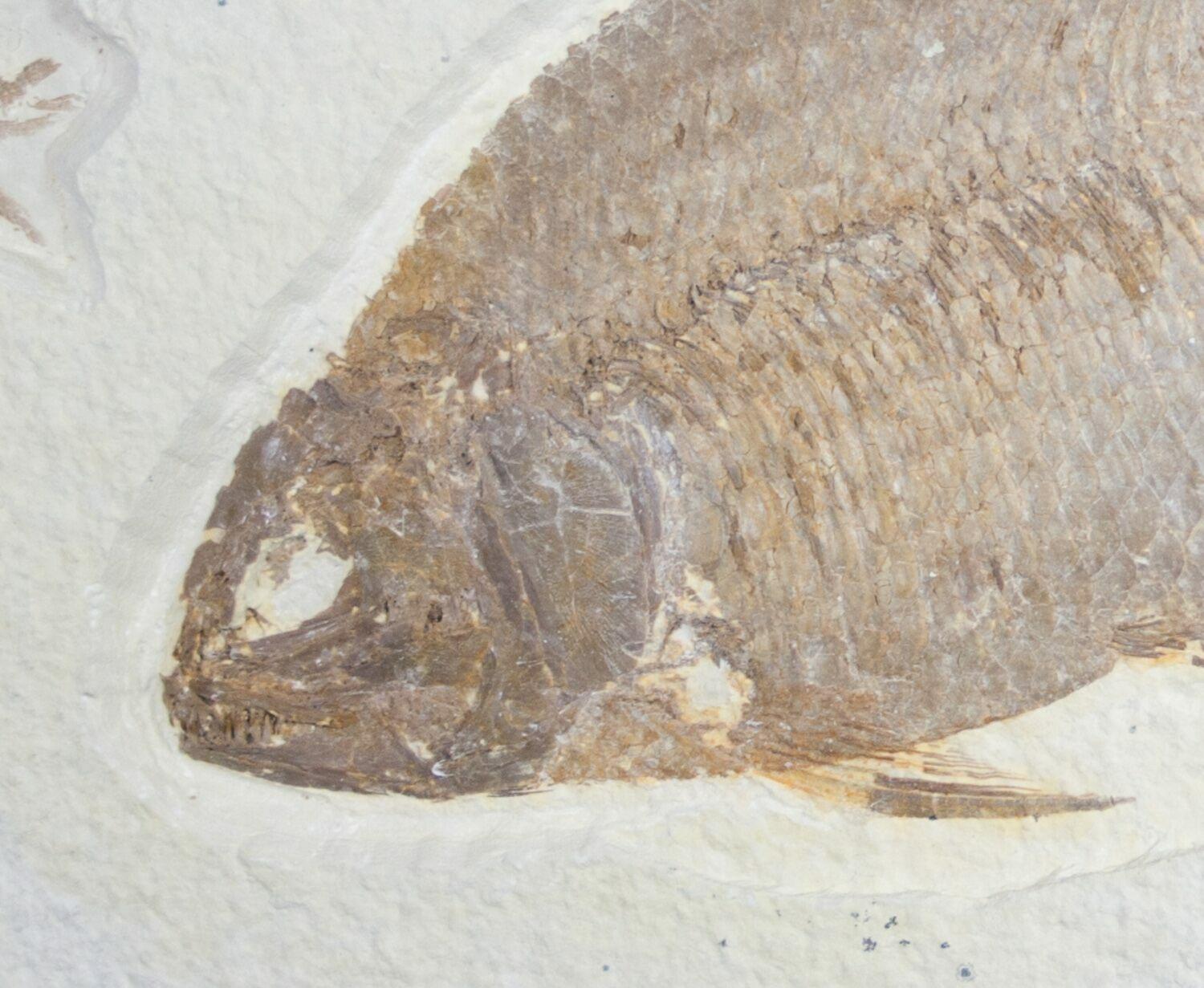 6 5 phareodus fossil fish with knightia for sale 8788 for Fish fossils for sale