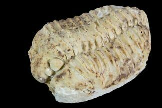 "1.25"" Calymene Celebra Trilobite - Illinois For Sale, #126842"