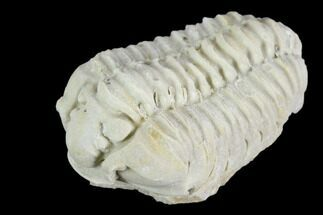 Calymene celebra - Fossils For Sale - #126843