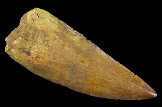 "Buy Bargain, 2.03"" Carcharodontosaurus Tooth - Real Dinosaur Tooth - #127177"