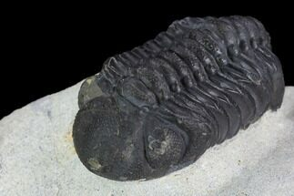 "2"" Austerops Trilobite - Nice Eye Facets For Sale, #127181"