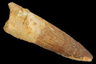 "Buy 2.21"" Spinosaurus Tooth - Real Dinosaur Tooth - #127540"
