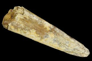 "Buy Bargain, 1.35"" Fossil Pterosaur (Siroccopteryx) Tooth - Morocco - #127693"