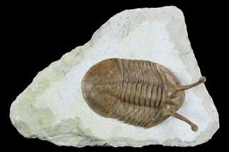 "Buy 3.7"" Stalk-Eyed Asaphus Kowalewskii Trilobite - Very Large - #127846"