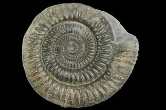 "Buy 2.7"" Ammonite (Dactylioceras) Fossil - England - #127501"