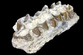 "2.5"" Oreodont (Merycoidodon) Jaw Section - South Dakota For Sale, #128135"