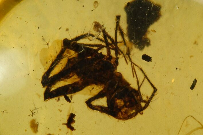 Fossil Spider (Araneae) In Amber - Myanmar