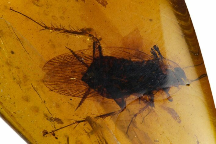 Detailed Fossil Cockroach (Blattodea) In Amber - Myanmar