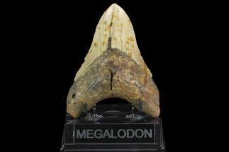 "Buy 4.77"" Fossil Megalodon Tooth - North Carolina - #124936"