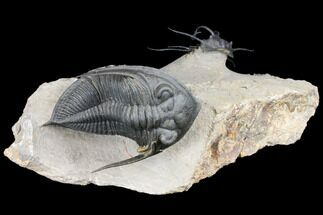Dicranurus Trilobite With Large Zlichovaspis - Atchana, Morocco For Sale, #128957