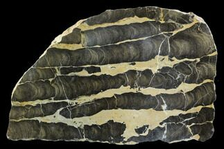 "Buy 8"" Polished Stromatolite (Boxonia) From Australia - 800 Million Years - #129157"