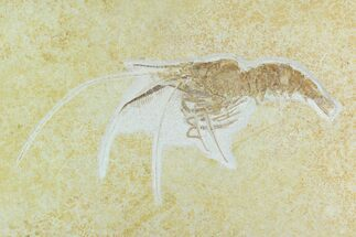 Buy Huge, Fossil Shrimp (Aeger) - Solnhofen Limestone - #129247
