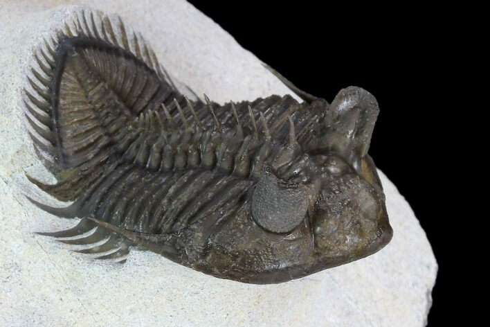 "2.2"" Tower Eyed Erbenochile Trilobite - Top Quality"