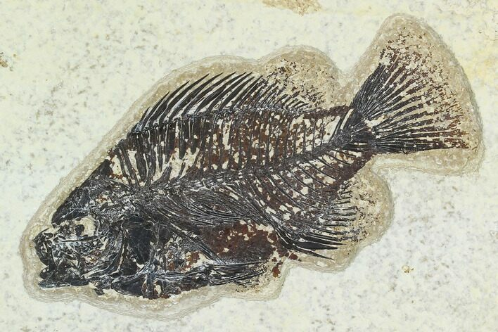 "4.3"" Fossil Fish (Cockerellites) - Green River Formation"