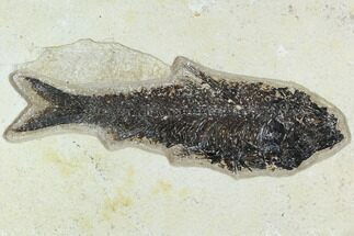 "7"" Fossil Fish (Knightia) - Green River Formation For Sale, #129737"