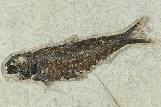 "Buy 5.1"" Fossil Fish (Knightia) - Green River Formation - #129766"
