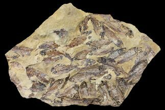 "15"" Fossil Fish (Gosiutichthys) Mortality Plate - Lake Gosiute For Sale, #130064"