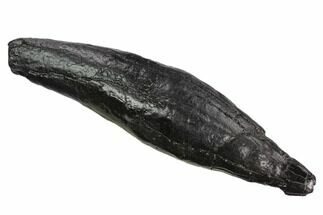 "Buy Huge, 6.7"" Fossil Sperm Whale (Scaldicetus) Tooth - #130177"