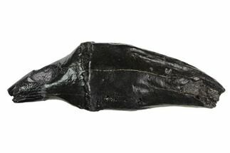 Scaldicetus sp. - Fossils For Sale - #130182