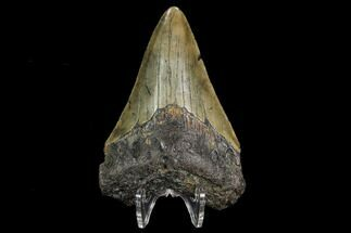 "Buy 3.11"" Fossil Megalodon Tooth - North Carolina - #130018"