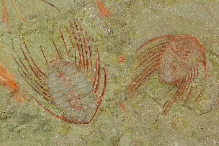 Two Red Selenopeltis Trilobites - Fezouata Formation
