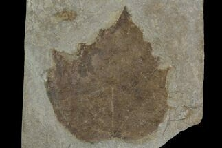 Platanus vitifolia - Fossils For Sale - #130425