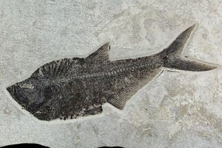 "15.8"" Fossil Fish (Diplomystus) From 18 Inch Layer - Hanger Installed For Sale, #130448"