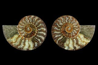 Cleoniceras - Fossils For Sale - #130065