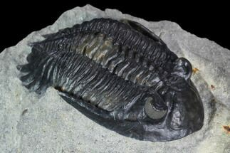 "2.05"" Detailed Hollardops Trilobite - Ofaten, Morocco For Sale, #130538"