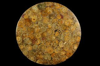 "8"" Composite Plate Of Agatized Ammonite Fossils For Sale, #130577"
