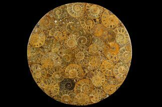 "8"" Composite Plate Of Agatized Ammonite Fossils For Sale, #130583"