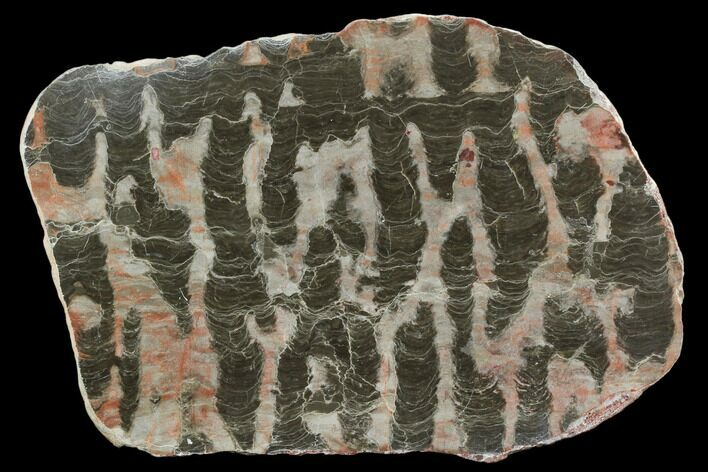 "6.5"" Polished Stromatolite (Inzeria) Slab - 800 Million Years"