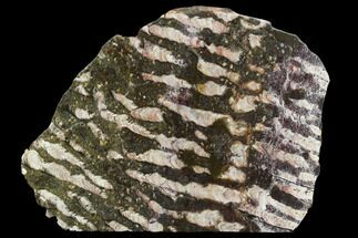 "7.1"" Polished Stromatolite (Collenia) Slab - Minnesota For Sale, #130655"
