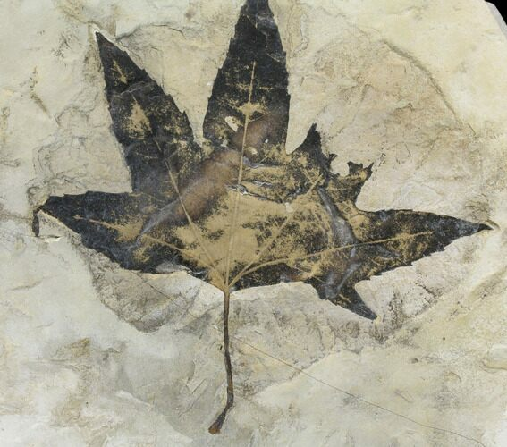 "7.3"" Fossil Maple (Acer) Leaf - Green River Formation, Utah"