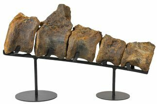 Buy Five Articulated Stegosaurus Vertebae On Stand  - #131293