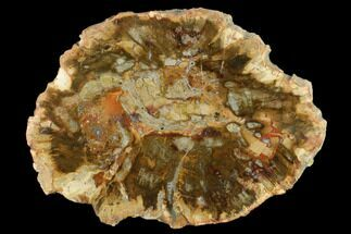 "Buy 5.6"" Petrified Wood (Araucaria) Slab - Madagascar  - #131404"